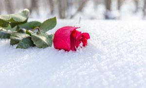 雪地上的红色玫瑰特写摄影高清图片