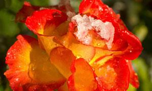 挂着融化积雪的玫瑰花摄影高清图片