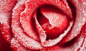 戴着冰霜的红色玫瑰花摄影高清图片
