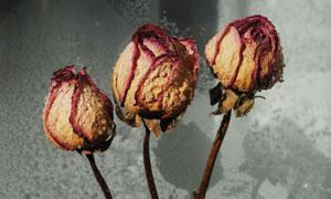 挂着水珠的枯萎玫瑰花摄影高清图片