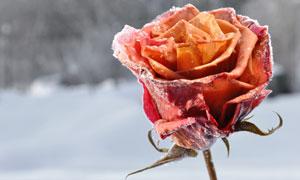 叶子发蔫儿了的玫瑰花摄影高清图片