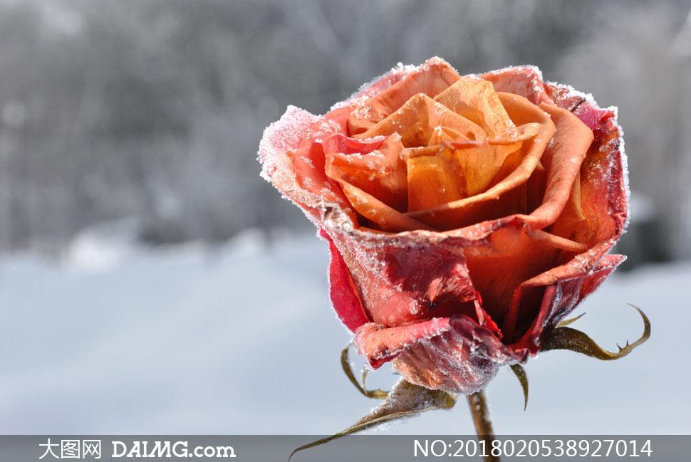 叶子发蔫儿了的玫瑰花摄影高清图片图片