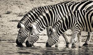 在一起河边喝水的斑马摄影高清图片