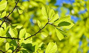 树枝上的绿色树叶特写摄影高清图片