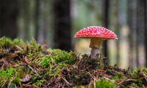 树林中的红色蘑菇特写摄影高清图片