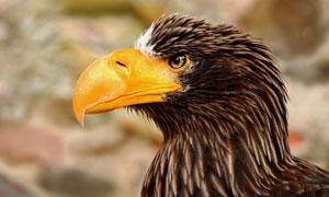一只老鹰侧面视角特写摄影高清图片