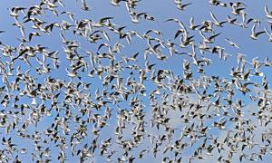 飞翔在蔚蓝空中的海鸥摄影高清图片
