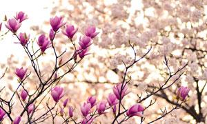 春天树枝绽放的木兰花摄影高清图片