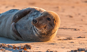 正在沙滩上玩耍的海豹摄影高清图片