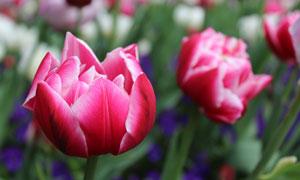 绽放中的的郁金香花卉植物高清图片