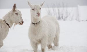站在雪地中的两只山羊摄影高清图片