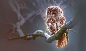 在树枝上的一只猫头鹰摄影高清图片