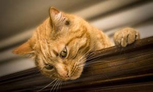 趴着往下看的可爱猫咪摄影高清图片
