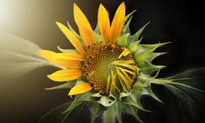 正在绽放的向日葵花朵特写高清图片