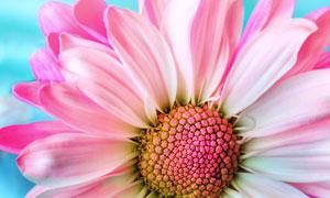 粉红色的菊花近景特写摄影高清图片