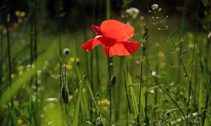 盛开在草丛中的红色花摄影高清图片