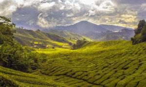 山间美丽的茶园摄影图片