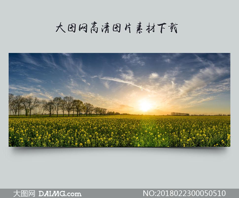 清晨田园油菜花地全景摄影图片