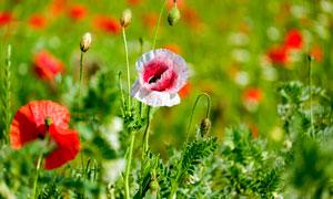 美丽的罂粟花近景摄影图片