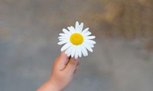 手中的一朵小雏菊特写摄影高清图片