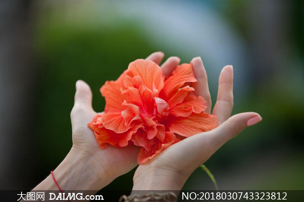 捧在手心里的一大朵花摄影高清图片