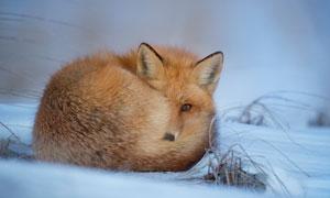 在雪地上一只蜷缩着的狐狸高清图片