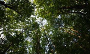 笔直生长着的树木仰拍视角高清图片