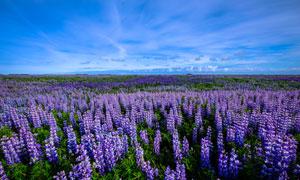 蓝天白云花海自然风景摄影高清图片
