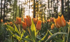 橙色的郁金香花卉植物逆光摄影图片