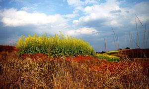 蓝天下的油菜花美景摄影图片