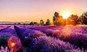 清晨美丽的薰衣草花园摄影图片