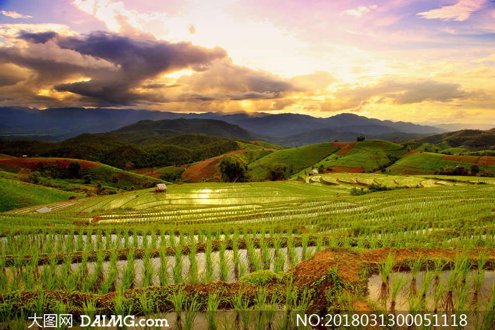 夕阳下的梯田稻田景观摄影图片