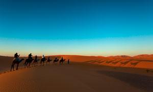 黄昏下在沙漠中旅行的驼队摄影图片