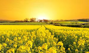 金黄色的油菜花地摄影图片