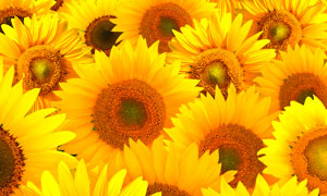 鲜艳明亮向日葵花特写摄影高清图片