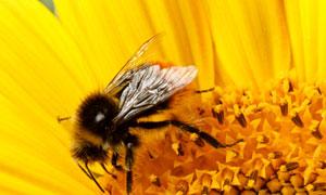 正在葵花上采蜜的蜜蜂摄影高清图片