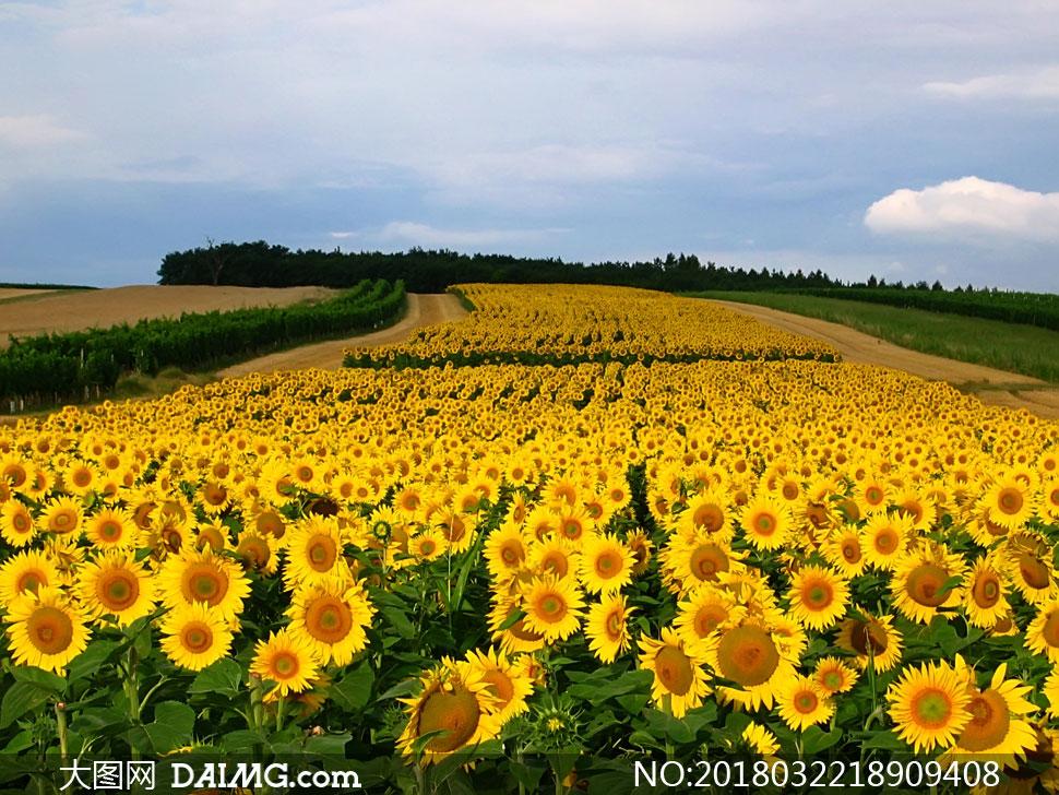 关 键 词: 高清图片大图素材摄影自然风景风光花海花田葵花向日葵种植
