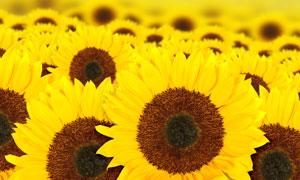 鲜亮黄色的向日葵特写摄影高清图片