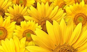 金黄色的向日葵花特写摄影高清图片