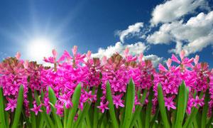 蓝天白云与风信子花卉摄影高清图片