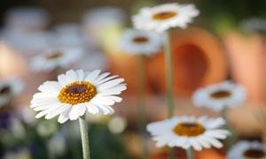 白色的小菊花植物微距摄影高清图片