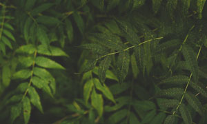 深绿色的树叶近景特写摄影高清图片