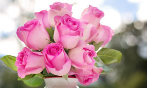 花瓶中的粉红色玫瑰花摄影高清图片