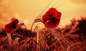 麦穗与带着水珠的红色花朵高清图片