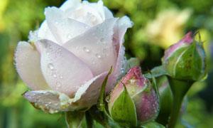 正在慢慢盛开的玫瑰花摄影高清图片