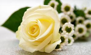 玫瑰花与一堆雏菊特写摄影高清图片