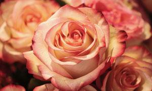 大朵的玫瑰花近景特写摄影高清图片
