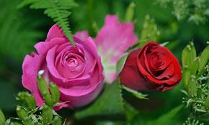 绿叶烘托下的玫瑰花卉摄影高清图片