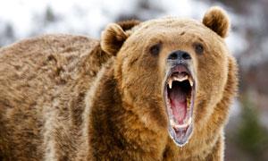 一头张嘴咆哮的熊特写摄影高清图片