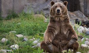 端坐在乱石草丛中的熊摄影高清图片